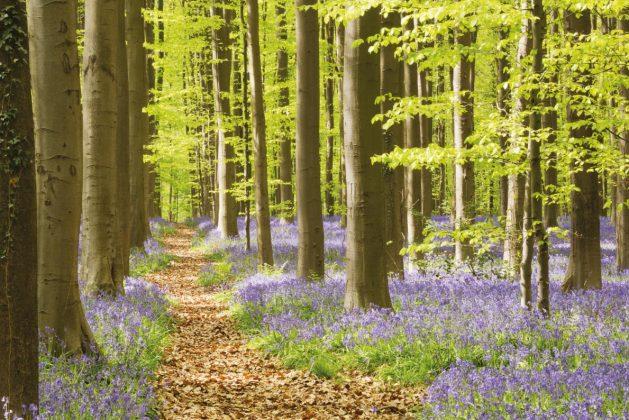 Hallerbos Ormanı (Belçika)