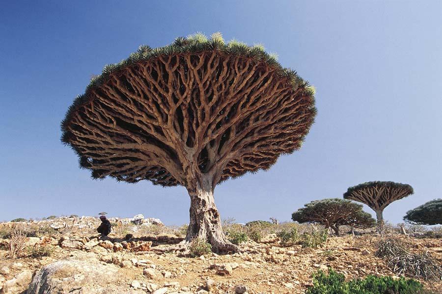 Mutlaka Görmeniz Gereken Yerler - Sokotra Ejderha Ağacı