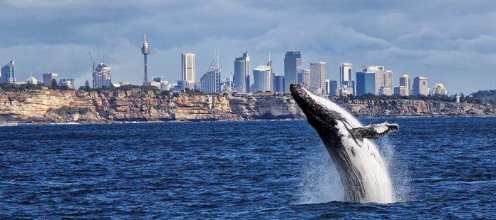 Kış Aylarında Gezilebilecek Yerler - Avustralya - Sydney - Balina