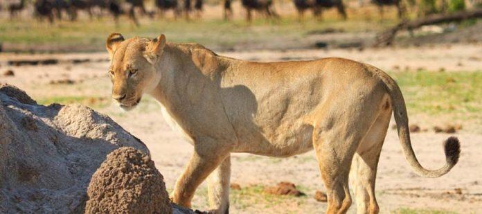 Afrika'da Safari Yerleri - Hwange Milli Parkı