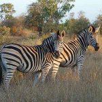 Afrika'da Safari Yerleri - Kruger Milli Parkı