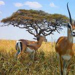 Afrika'da Safari Yerleri - Serengeti Milli Parkı