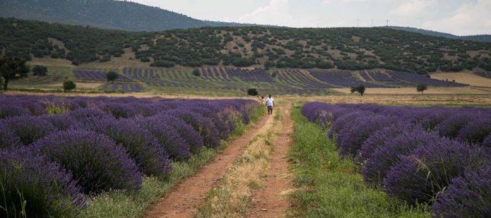Kuyucak Köyü - Lavanta Tarlası